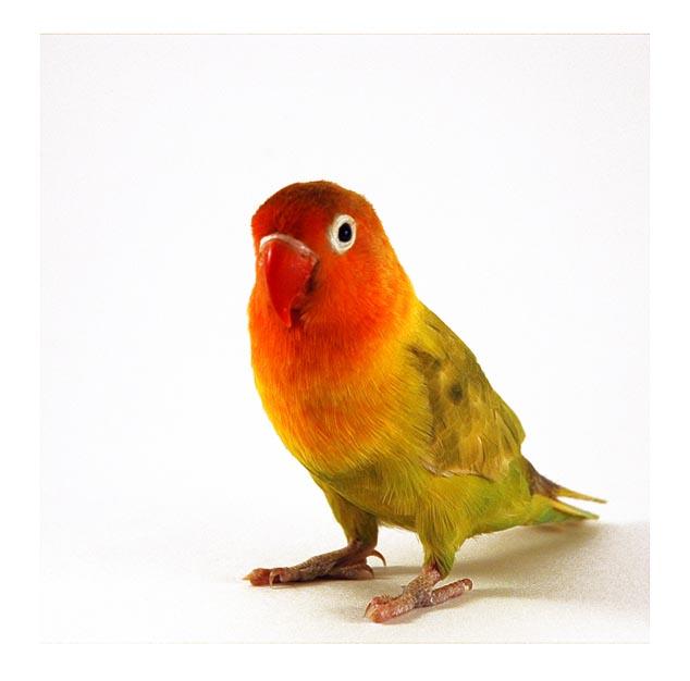 lovebird چگونه مرغ عشق/طوطی برزیلی را از قفس بیرون بیاوریم